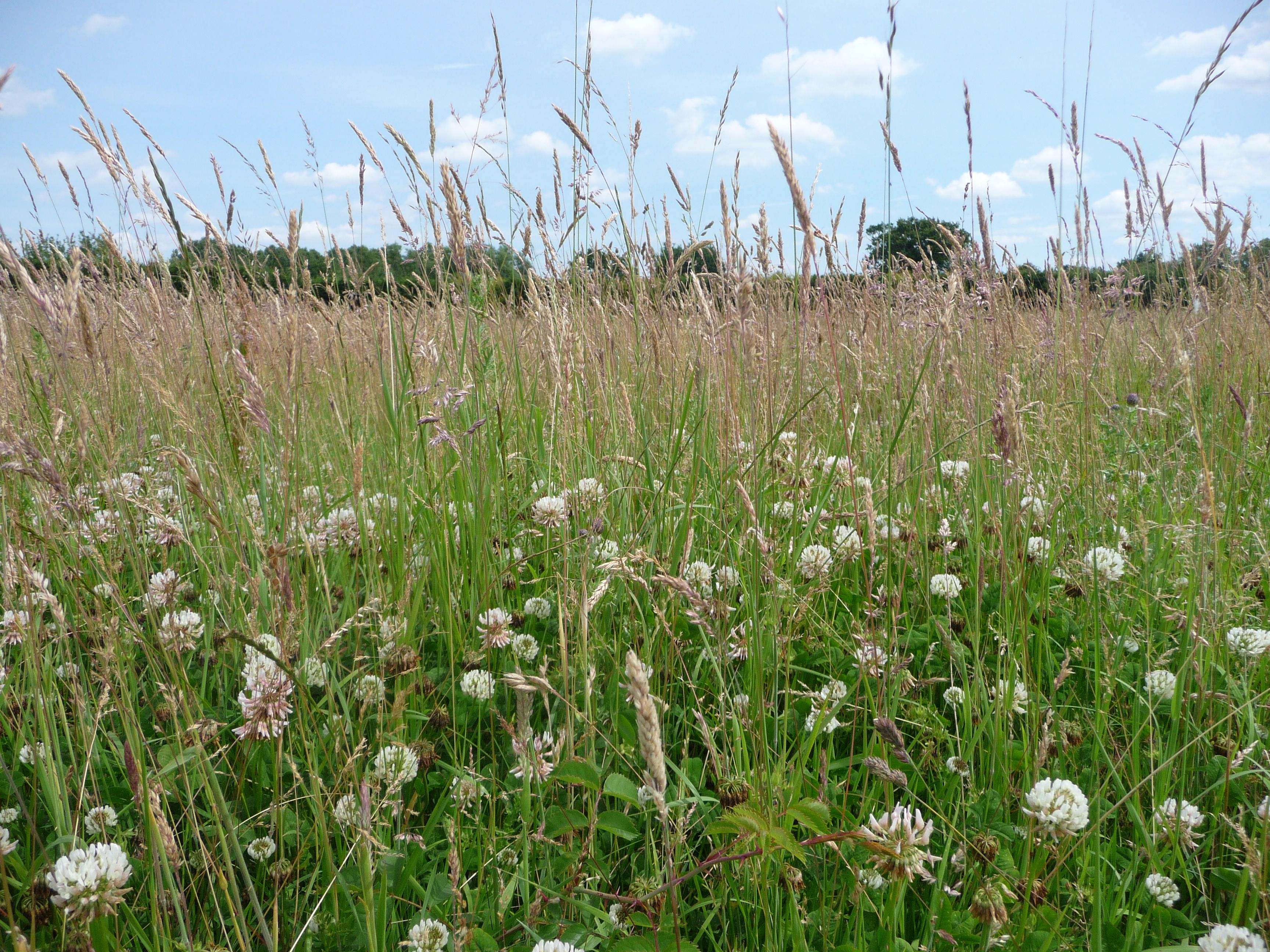how to get rid of white clover in grass