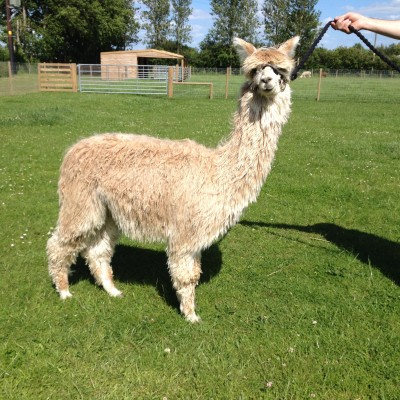 Picture of on Alpaca