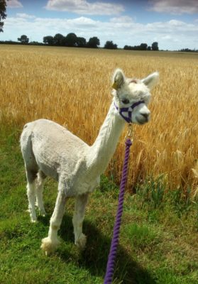 Alpaca Walks in the green lanes of Suffolk